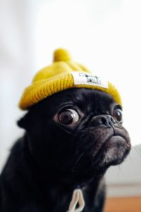 黄色のニット帽をかぶった黒い犬