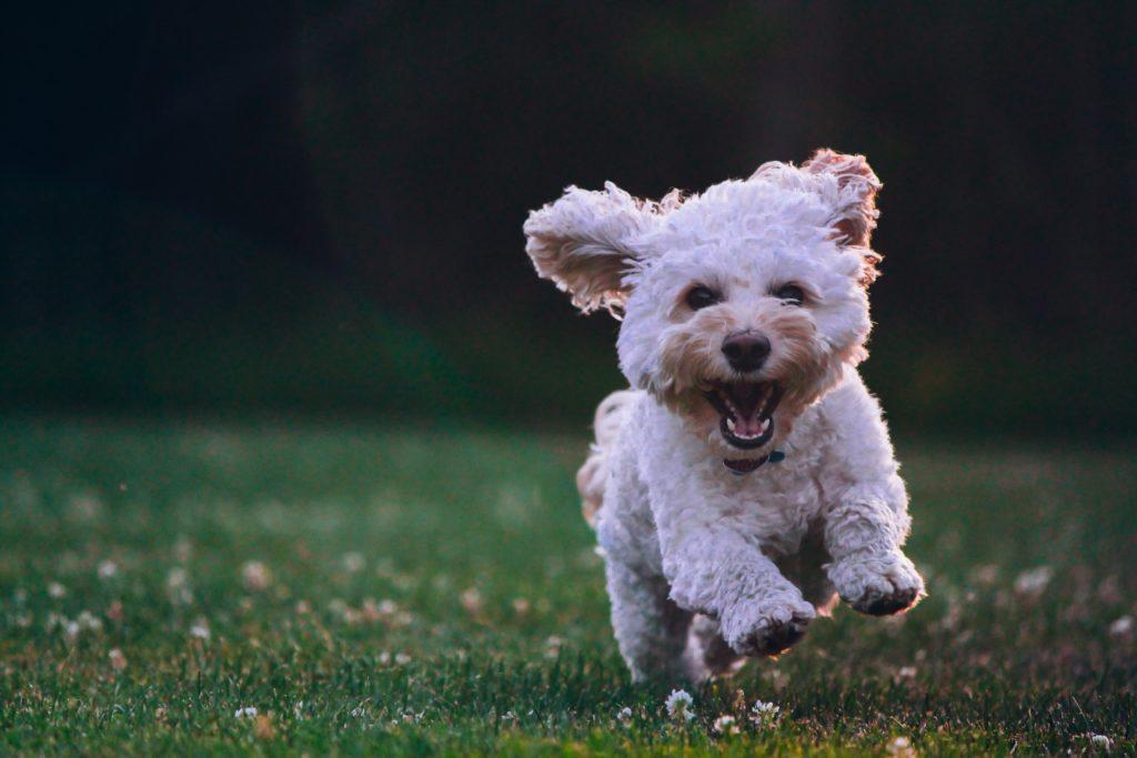 笑いながら走ってくる犬の画像