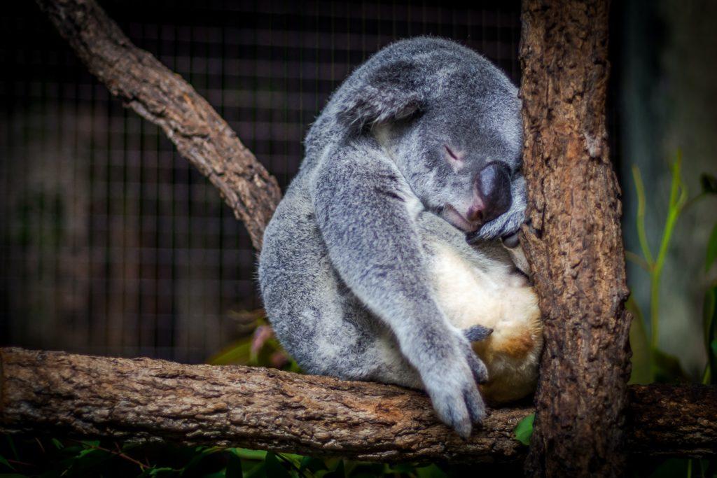 落ち込んでるコアラの写真