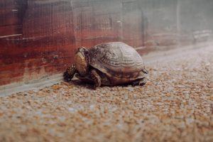 小さな茶色い亀の写真