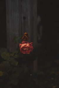 枯れた薔薇と咲いてる薔薇