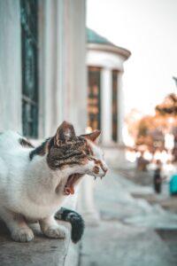 あくびをしている猫の写真